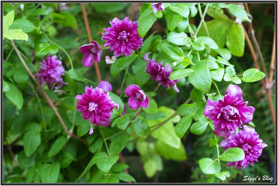 190707 Clematis 'Purpurea Plena Elegans'