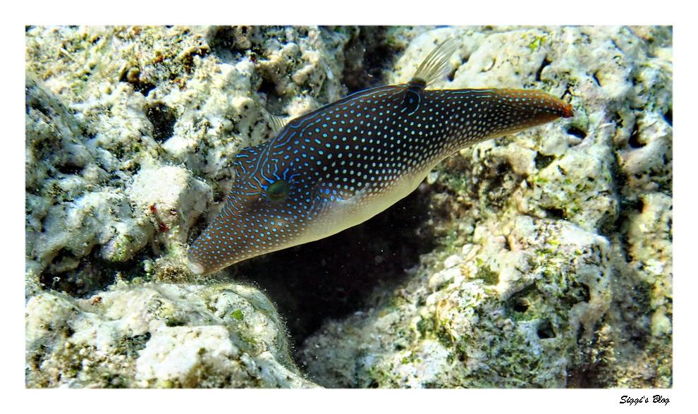 Rotemeer Spitzkugelfisch