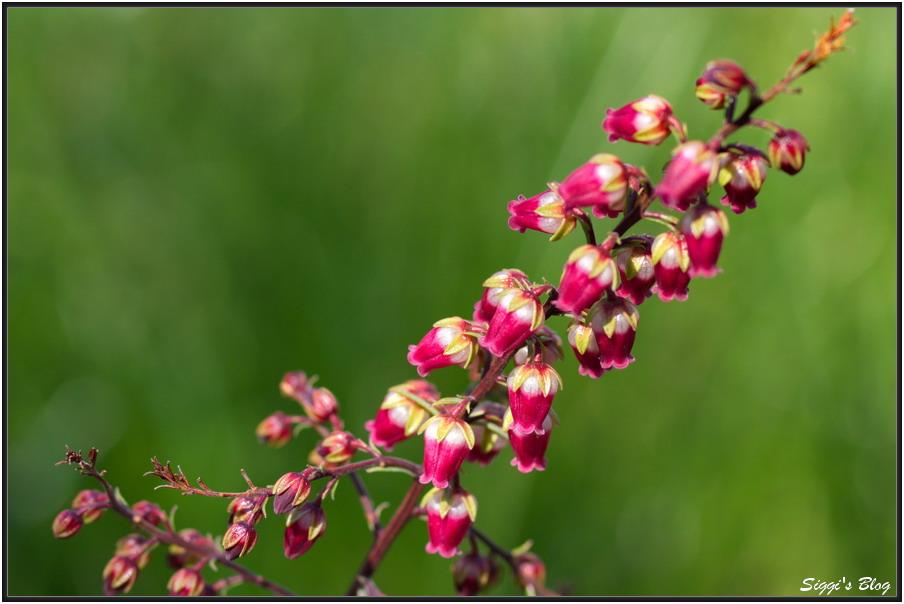 160327 Japanische Lavendelheide