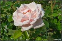 190606 Rose
