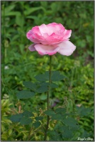 190610 Rose