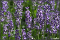 190615 Lavendel