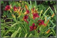 190707 Taglilien Dunkelrot