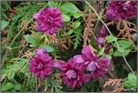 190711 Clematis purpurea Plena Elegans