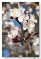 Marillenblüte (Aprikose)
