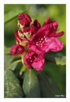 Roter Rhodendron