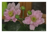 Himbeer Blüte