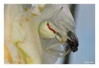 Veränderliche Krappenspinne und Fliege