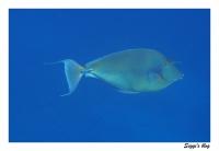 Blauklingen-Nasendoktorfisch