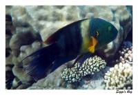 Besenschwanz-Lippfisch