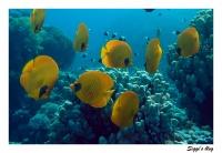 ssh14-06_13_maskenfalterfisch_p7111320