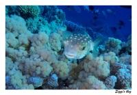 Gelbflecken-Igelfisch