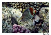 ssh14-07_07_rotmeerwinkelfalterfisch_p7121393