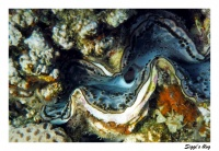 Schuppige Riesenmuschel  / Giant clam