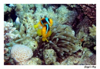 ssh14-11_10_rotmeeranemonenfisch_p7162245