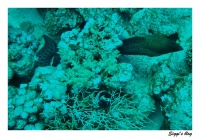 Riesenmuräne /  Giant moray