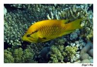 Stülpmaullippfisch / Longjaw wrasse