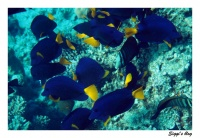 Blauersegelflossendoktor / Yellowtail tang
