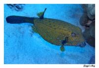 Gelbbrauner Kofferfisch / Yellow Cube boxfish