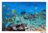 Dreipunktpreussenfisch / Threespot dascyllus