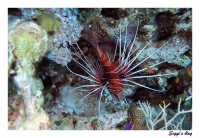 Strahlenfeuerfisch / Radial firefish