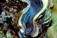 Schuppige Riesenmuschel  /Giant clams