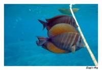 Indischer Segelflossendoktorfisch / Red Sea sailfin tang
