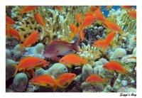 Juwelenfahnenbarsch / Sea goldi