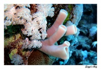 Kolonie Siphonschwamm / Colonial tube-sponge