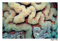 Blasenkoralle / Bubble coral
