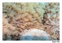 Margeritenkoralle /  flowerpot coral
