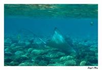 Gefleckter Adlerrochen / Spotted eagle ray