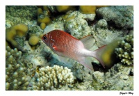 Silberfleckhusar / Silverspot squirrelfish