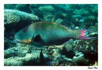Maskenpapageifisch / Bicolour parrotfish