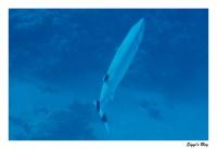 Großer Barrakuda / Barracuda