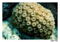 Sternkoralle / Starflower coral