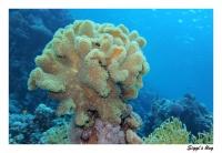 Pilzkoralle / Mushroom Coral