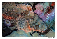Drachenkopf / Tassled scorpionfish