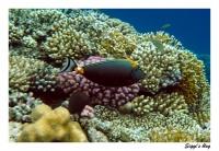 Indischer Gelbklingennasendoktor / Elegant unicornfish