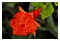 Granatapfel - Erste Blüte!