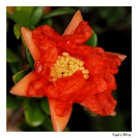 Granatapfel - Erste Blüte