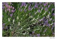 Weißer Lavendel