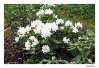 Weißer Rhododendron