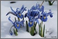 180318 Zwerg Iris