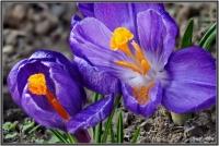 180325 Frühlings Krokus