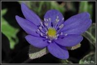 180331 Leberblümchen