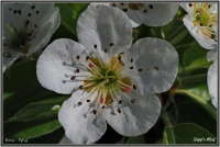180418 Birnenblüte