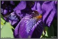 180421Holländische Iris