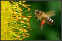 180606 Biene an der Steppenkerze