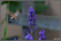 180606 Lavendel  - Taubenschwänzchen